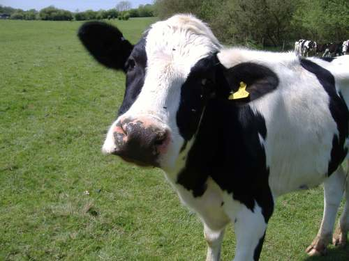 1388327-cow